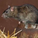 Rats invade buildings in response to floods and low temperatures