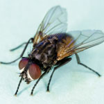 Delivering a virus to control houseflies