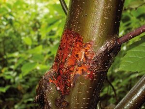 sweet-chestnut-blight