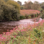 Himalayan Balsam and its control on the River Monnow in Herefordshire and Monmouthshire