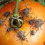 Stink Bug Traps in Gardens may Increase Damage to Tomatoes
