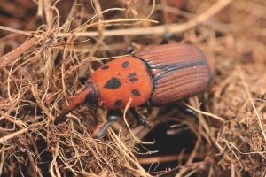 Red Palm Weevil adult