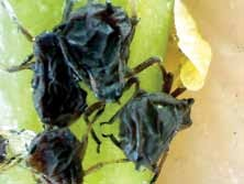 Citrus aphids affected by the action of BotaniGard ES