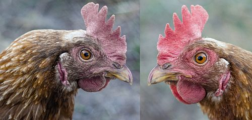 Fig. 5. Noticeable post-treatment improvement of health condition of the poultry photo provided by ?????