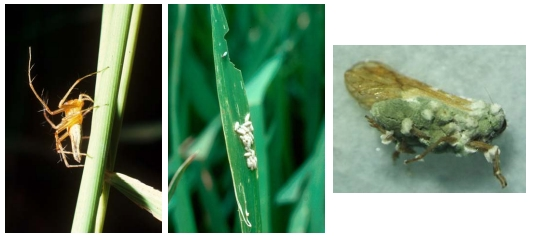 Three examples of important natural enemies: (left) a 'generalist' lynx spider predator, Oxyopes sp.; (centre) a parasitoid of the rice leaf-folder, Braconidae; (right) a pathogen, Metarhizium infected BPH. (Photo courtesy Trịnh Thị Xuân, Cần Thơ University)