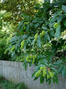 Hypovirulence 1 The attractive dark green and glossy foliage of sweet chestnut would be sorely missed