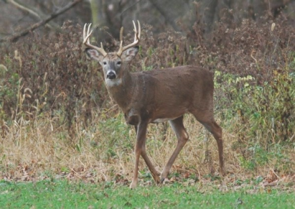 Male white-tailed deer. Photo by greg Clements, UNl.