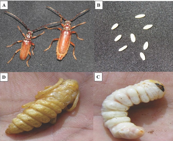 The life cycle of the date palm longhorn beetle, Jebusaea hammerschmidti. Adult (A), eggs (B), Larva (C) and pupa (D). (Photograph by El-Shafie).