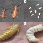 Biology, Ecology and Management of the Longhorn Date Palm Stem Borer <em> Jebusaea Hammerschmidti </em> (Coleoptera: Cerambycidae)