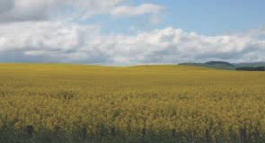 Could canola hold the answers to weed free crops? Photo credit Nicki Harper