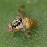 Development of fruit fly control strategies