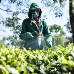More sustainable tea production in India
