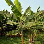 First ever plantain resistant to banana streak virus