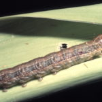 IPM to fight fall armyworm